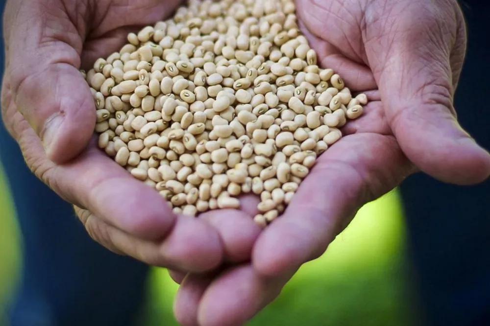 Ibrafe prevê queda de 10% na primeira safra do feijão